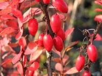 Барбарис красный (без косточек)