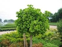 Гинкго билоба лист