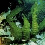 Морская капуста (ламинария) сушеная