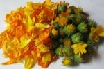 Календула цветки